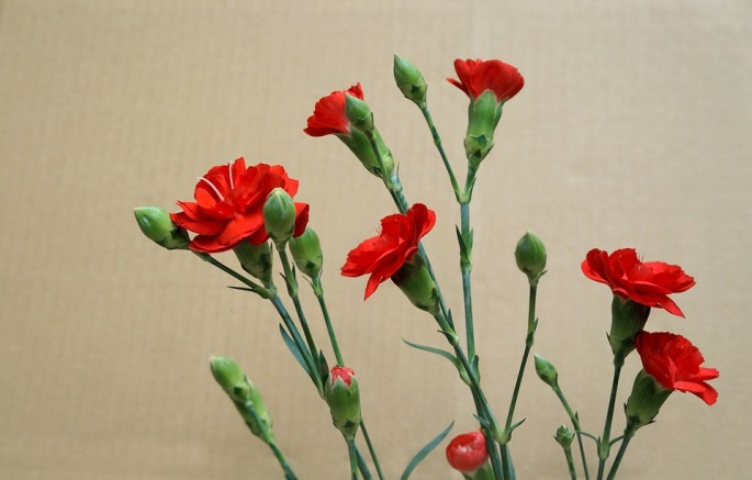 carnations-3200028_960_720