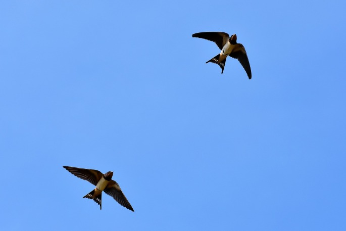 swallows-3850033_1920